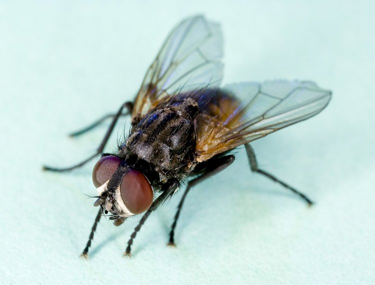 How to Get Rid Of Houseflies At Home?