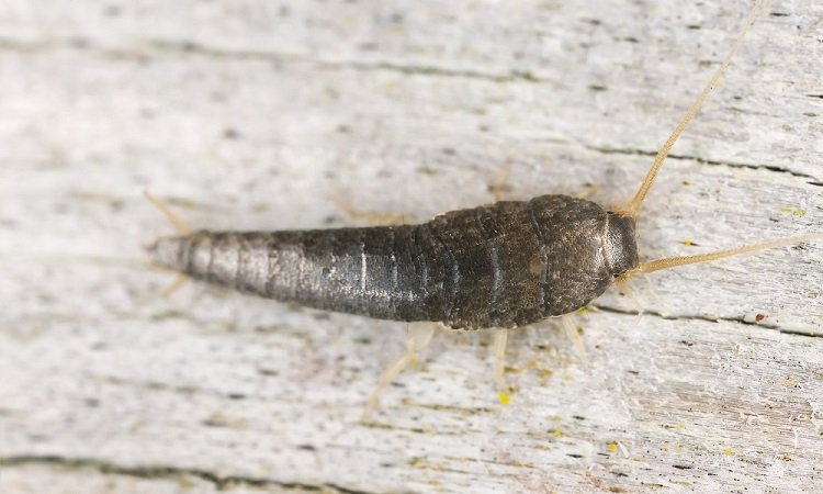 How to Eliminate Silverfish & Prevent them from Returning?